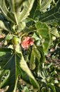 Fig with leaves Royalty Free Stock Photo