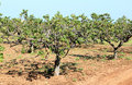 Fig orchard near mola di bari italy in the coastal frame along the adriatic sea of southern puglia in the tiny handkerchiefs of Royalty Free Stock Image