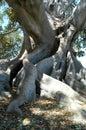 Fig Tree 3 Royalty Free Stock Photo