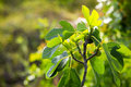 Fig tree branch view of in the autumn Stock Photo