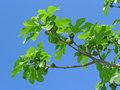Fig tree with figs on blue sky Royalty Free Stock Images