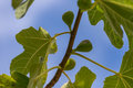 Fig Tree Royalty Free Stock Photo