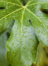 Fig tree leaf close up shot Royalty Free Stock Photo