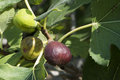 Fig on tree between the leaves Royalty Free Stock Photo