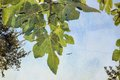 Fig tree leaves on blue sky background. With copy space.