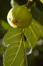 Fig on tree with natural side lighting Royalty Free Stock Images