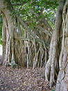 Fig tree roots #2 Stock Images