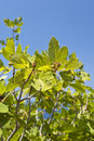 Fig tree on samos in greece Stock Photos