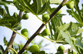 Fig Tree 2 Royalty Free Stock Photo