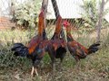 Fight Chicken Farming Royalty Free Stock Photo