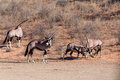 Fight between two male gemsbok oryx gazella dominant antelope in the park kalahari south africa Stock Image