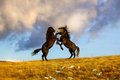 Fight two wild horses at the top of the hill with dark clouds in background Royalty Free Stock Photos