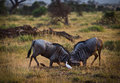Fighting baboons two on african savannah Stock Photo