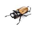 Fighting beetle rhinoceros beetle isolated on white Royalty Free Stock Photos
