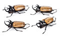 Fighting beetle rhinoceros beetle isolated on white Stock Photos