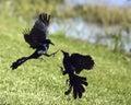Fighting black birds