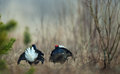 Fighting Black Grouse Royalty Free Stock Photography