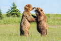 Fighting brown bears two young immature alaskan coastal play Stock Photos