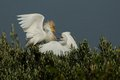 Fighting Cattle Egret Stock Photos
