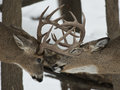 Fighting deer a pair of mature whitetail bucks with antlers touching Royalty Free Stock Photography