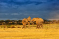 Fighting Elephants Royalty Free Stock Photo