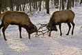 Fighting elk two bull in late afternoon you don t got to see this very often Stock Image