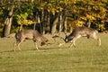 Fighting fallow deers in rut Royalty Free Stock Photo