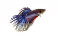 Fighting fish betta on white background Stock Image