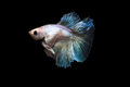 betta fish, siamese fighting fish