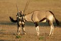 Fighting gemsbok two male antelopes oryx gazella for territory kalahari desert south africa Royalty Free Stock Photography