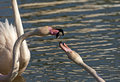 Fighting greater flamingos phoenicopterus roseus camargue france Royalty Free Stock Photography
