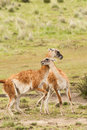 Fighting guanacos two young males play in grassy meadow Royalty Free Stock Photo