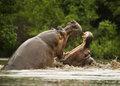 Fighting hippos two male in a southern african park Royalty Free Stock Image