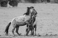 Fighting horses in a dutch nature reserve Stock Photo