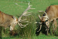 Fighting it out two red deer stags with their antlers west coast south island new zealand Stock Photo