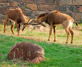 Fighting Sable antelope Royalty Free Stock Photo