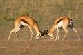 Fighting Springbok Royalty Free Stock Photo