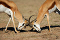 Fighting springbok antelopes Royalty Free Stock Photo