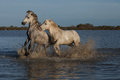 Fighting stallions Royalty Free Stock Photo