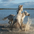 Fighting stallions Royalty Free Stock Photo