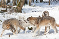 Fighting timber wolves in winter forest wolf pack of four snowy white Royalty Free Stock Photos