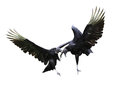 Fighting Vultures Royalty Free Stock Photo
