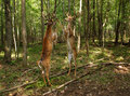 Fighting Whitetail Deer Bucks Royalty Free Stock Photo