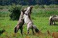 Fighting wild konik stallions Royalty Free Stock Photo