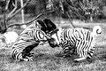 Fighting zebra pugs a couple of with little suits on Stock Photo
