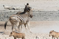 Fighting zebras in Etosha National Park, Namibia Royalty Free Stock Photo