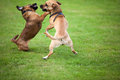 Fightings dogs two are fighting together for fun Stock Photo