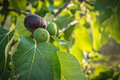 Figs hanging from tree Royalty Free Stock Photo