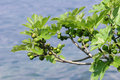 Figs at the lake Royalty Free Stock Photography