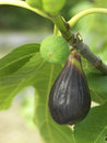 Figs on the tree Royalty Free Stock Images